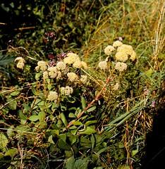 Hylotelephium maximum (L.) HOLUB Große Fetthenne Orpine, Livelong, Live-everlasting (Spiranthes2013) Tags: hylotelephiummaximumlholub hylotelephiummaximum scan 6x6 dia kfwolfstetter saxifragales crassulaceae sempervivoideae sedeae dickblattgewächse mauerpfeffer 6x6dias deutschland germany diaarchiv diascan becker bayern bavaria lowerfranconia unterfranken lkmiltenberg nature natur mauern walls fence zaun plant pflanze pflanzendias plantae eudicots eudicosiden angiospermen angiosperms coreeudicots kerneudikotyledonen fetthennen steinbrechartige