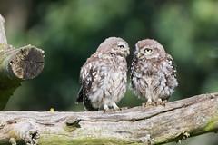 Little Owl (drbut) Tags: littleowl athenenoctua birdofprey avian bird birds farmland countryside wildlife nature
