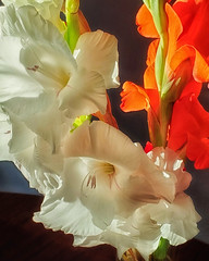 Gladiolus in Morning Light (Flickr Goot) Tags: flower flowers gladiolas gladiolus sunlight morning availablelight backlit
