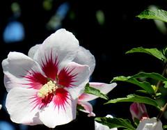 Janas flower (Américo Meira) Tags: portugal sintra janas hibisco flor
