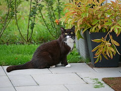 Tussi's excursion in the backyard today... (vanstaffs) Tags: tussi tuzz tuxedocat t tux tusse tutu tuzz® myprettytuxedogirl cc100