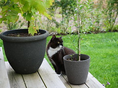 Checking up the plants... (vanstaffs) Tags: tussi tuzz tuxedocat t tux tusse tutu tuzz® myprettytuxedogirl