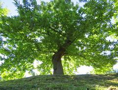 IMG_0056x (gzammarchi) Tags: italia natura albero montagna sanpellegrino paesaggio castagno firenzuolafi specialexbarbara