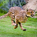 Cheetah Running Close-Up