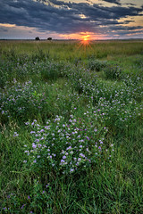 Sunset with wildflowers along Interstate 90 in South Dakota (diana_robinson) Tags: sunset wildflowers dramaticsky rural settingsun noone remote southdakota nopeople field ruralscene summer sky flower plant meadow horizon nature grass beauty blossom idyllic growth