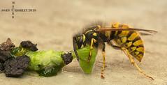 Wasp feeding on caterpillar (John Chorley) Tags: wildlife wasp caterpillar feeding insects insect nature johnchorley 2019 macro macros macrophotography closeup closeups