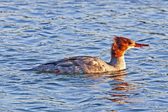 Common Merganser 19-0807-7580 (digitalmarbles) Tags: commonmerganser duck drake female waterfowl divingduck merganser mergusmerganser anseriformes anatidae redbill water swimming ripples nature wildlife animal bird birder birdphoto birdphotography wildlifephotography reifel sanctuary reifelsanctuary deltabc lowermainland bc britishcolumbia canada canoneosrebelt7i canon sigma150600mmf563dgoshsm sigma