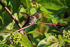 Morning Stretches (Diane Marshman) Tags: rubythroated hummingbird ruby throated hummer small bird action motion movement green upper head back tail feathers white chest breast red throat dark wings long black beak redtwig dogwood bush shrub berry branches berries fruit summer pa pennsylvania nature wildlife