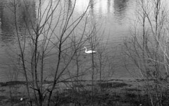 By the riverside (Paolo Levi) Tags: swan verona adige fiume river water reflection fp4 ilford ae1program trees foma italy