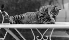 chat jouant sur une table (villatte.philippe) Tags: chat chiens animaux jouer table tigré