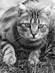 chat portrait nikon f5 trix (villatte.philippe) Tags: chat chiens animaux portrait tigré