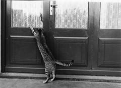 chat à la porte , je veux rentrer (villatte.philippe) Tags: chat chiens animaux porte dehors cat