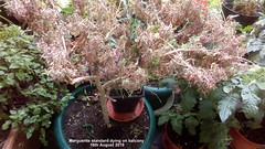 Marguerite standard dying on balcony 16th August 2019 (D@viD_2.011) Tags: marguerite standard dying balcony 16th august 2019