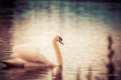 Cygne (christophe.beydon) Tags: animal blanc bleu black effet eau oiseau plume reflet nature d7100 tranquillité flou orange 70300