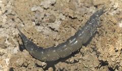 Diving Beetle Larvae (Dytiscus circumflexus) (Nick Dobbs) Tags: diving beetle larvae dytiscus circumflexus insect malta pond freshwater predator