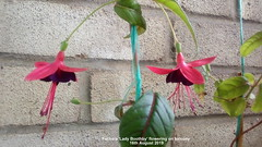 Fuchsia 'Lady Boothby' flowering on balcony 16th August 2019 (D@viD_2.011) Tags: fuchsia lady boothby flowering balcony 16th august 2019