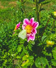 (Jelena1) Tags: dahlia asteraceae dalija dahlien georginen георги́на dahliasläktet georgina flower flor fleur cvet blomma blüte bloom biljka plant plante flora växt pflanzen priroda nature naturaleza natur leto été verano summer sommar sommer serbia srbija leptir butterfly papillon fjäril vlinder schmetterling farfalla mariposa бабочка