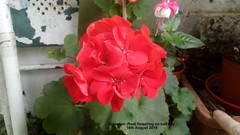 Geranium (Red)) flowering on balcony 16th August 2019 (D@viD_2.011) Tags: geranium red flowering balcony 16th august 2019