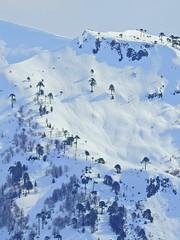 Cordillera Ránquil (Mono Andes) Tags: andes chile chilecentral ranquil araucaria araucariaaraucana regióndelaaraucanía invierno