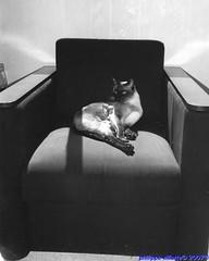 tam-tam chat siamois dans son fauteuil , yashica t5, tri x 400 iso, révélateur bergger pmk (villatte.philippe) Tags: chat chiens animaux bergger pmk trix 400iso siamois fauteuil yashica t5