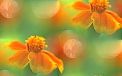 DSC02054 (Argstatter) Tags: flower blume blüten bokeh orange pflanze natur makro nahaufnahme