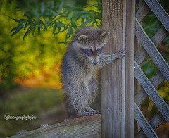 Rough Day (Photographybyjw) Tags: rough day racoon looks bit hagard looking around for some food this late afternoon shot north carolina ©photographybyjw mammal animal rural country
