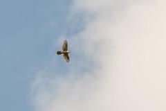Paprastasis suopis / Buteo buteo / Common Buzzard (Jonas Juodišius) Tags: vilnius lietuva lithuania paprastasissuopis buteobuteo commonbuzzard