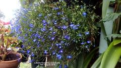 Lobelia flowering on balcony 16th August 2019 (D@viD_2.011) Tags: lobelia flowering balcony 16th august 2019