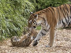 Amur Tiger & cub (JaneTurner68) Tags: amurtigercub tigercub tiger cub colchesterzoo zoo essex canonsx70 canon