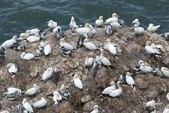 Gannet colonies at Bempton