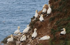 Gannets on the cliff top