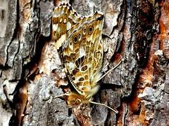 closed wings (BrigitteE1) Tags: butterfly macro distelfalter paintedlady vanessacardui tree bark white brown orange nature camouflage tarnung mimikry krypsis coloration färbung insect lepidoptera specanimal macromondays closed hmm