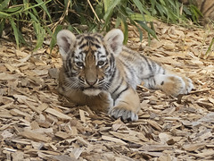 Amur Tiger Cub (JaneTurner68) Tags: amurtigercub tigercub tiger cub colchesterzoo zoo essex canonsx70 canon