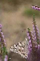 Papillon (RW-V) Tags: canoneos70d canonef100mm28lisusmlens radiokootwijk apeldoorn schmetterling papillon vlinder butterfly heide bruyère heather bokeh macro sooc