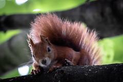 curious (iwona.kilichowska) Tags: animal nature closeup outside outdoor squirrel ginger macro cute scene