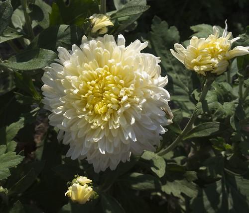 Chrysanthemum 'Mellow Moon' (UofMN, 1983, #64) 2019 photo