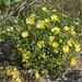 Chrysanthemum 'Yellow Quill' (UofMN, 2002) 2019 photo