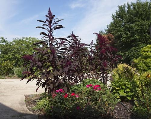 Amaranthus cruentus 'Intense Purple' () 2019 photo