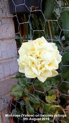 Mini-rose (Yellow) on balcony railings 9th August 2019 (D@viD_2.011) Tags: minirose yellow balcony railings 9th august 2019