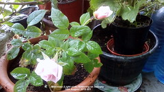 Mini-rose (Light pink) flowering on balcony 16th August 2019 001 (D@viD_2.011) Tags: minirose light pink flowering balcony 16th august 2019