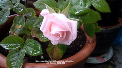 Mini-rose (Light pink) flowering on balcony 16th August 2019 002 (D@viD_2.011) Tags: minirose light pink flowering balcony 16th august 2019
