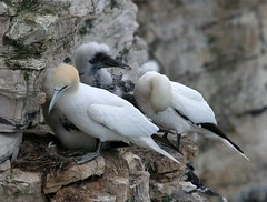 Gannets on their nests at Bempton
