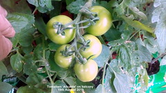 Tomatoes 'Alicante' on balcony 16th August 2019 (D@viD_2.011) Tags: tomatoes alicante balcony 16th august 2019