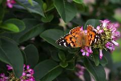 Koudekerke (Omroep Zeeland) Tags: struik bloem vlinder kleurig natuur vleugelsenz