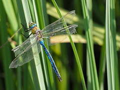 Emperor Male (Anax Imperator) (bredmañ) Tags: anaximperator male emperor dragonfly insect wild uk hawker handheld macro closeup naturallight nature wildlife britain olympus em1mkii 3004