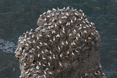 Sea stack nest site for Gannets (kitmasterbloke) Tags: bemptoncliffs rspb yorkshire nature reserve wildlife birds sea cliff coast uk outdoor flight spectacular colony breeding gannet kittiwake fulmar jackdaw psaintedlady shag