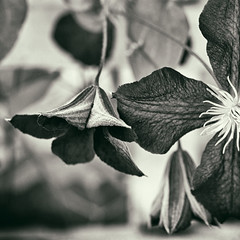 to see takes time (1crzqbn) Tags: flowers clematis mono bw sliderssunday bokeh depthoffield inmygarden 1crzqbn