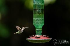 Female hummingbird having breakfast (jonwhitaker74) Tags: