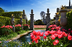 Tulip Festival (Beardy Vulcan II) Tags: england spring april 2019 arundel arundelcastle sussex westsussex garden tulip bulb plant botany botanic forgetmenot water pond fountain