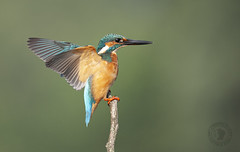 .......Oplà......!! (Fabrizio Comizzoli) Tags: martin pescatore alcedo atthis volo birds fly